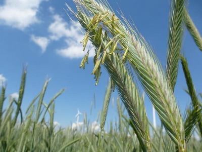 žito-izvoz-rusija-midi