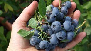 borovnice-dar-blue-thumb 300