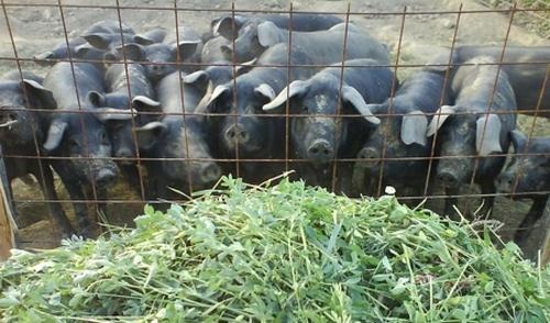 crna svinja