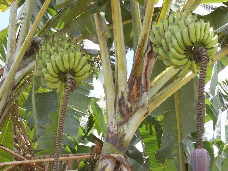 drvo-banane-large