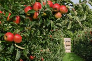 jabuke-ruralni razvoj-opg-midi