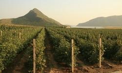 kina vinograd Thumb 250