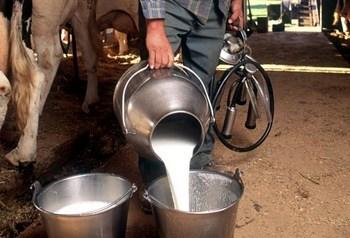 kravlje-mlijeko-proizvodnja-midi