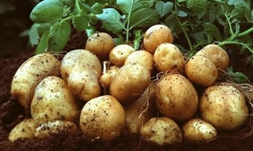 licki krumpit midi
