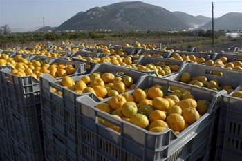 mandarine-neretva-midi
