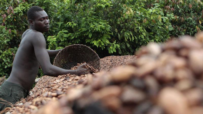nestle-kakao-berba-obala-bjelokosti-large