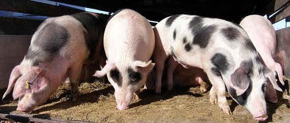 svinje-uzgoj-ftd