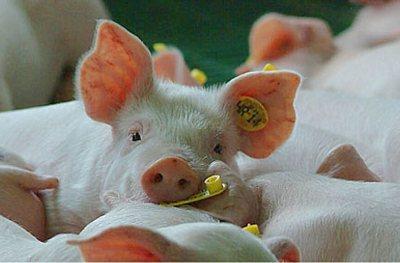 udruzenje-svinjogojci-midi