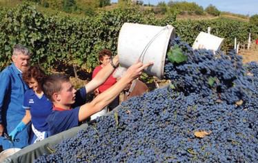 vino-proizvodnja-berba-midi