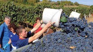 vino-proizvodnja-berba-thumb-300