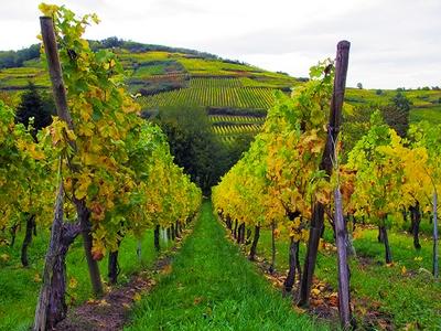 vinograd-proizvodnja-vina-midi