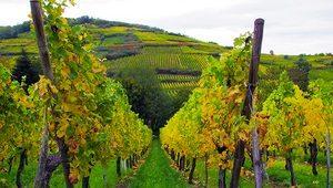 vinograd-proizvodnja-vina-thumb 300