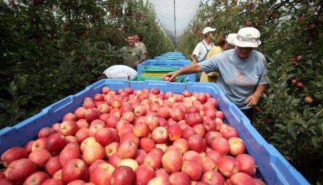 zadruge - jabuke midi